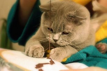 Cat helps to sew by hand